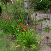"Location: Clinton, Michigan 49236Date: 2015-07-10""Hemerocallis 'Crimson Pirate', 2015, Red Spider Daylily, hem-ur"