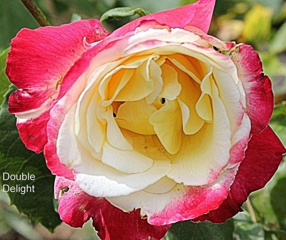Photo of Rose (Rosa 'Double Delight') uploaded by Aquilega