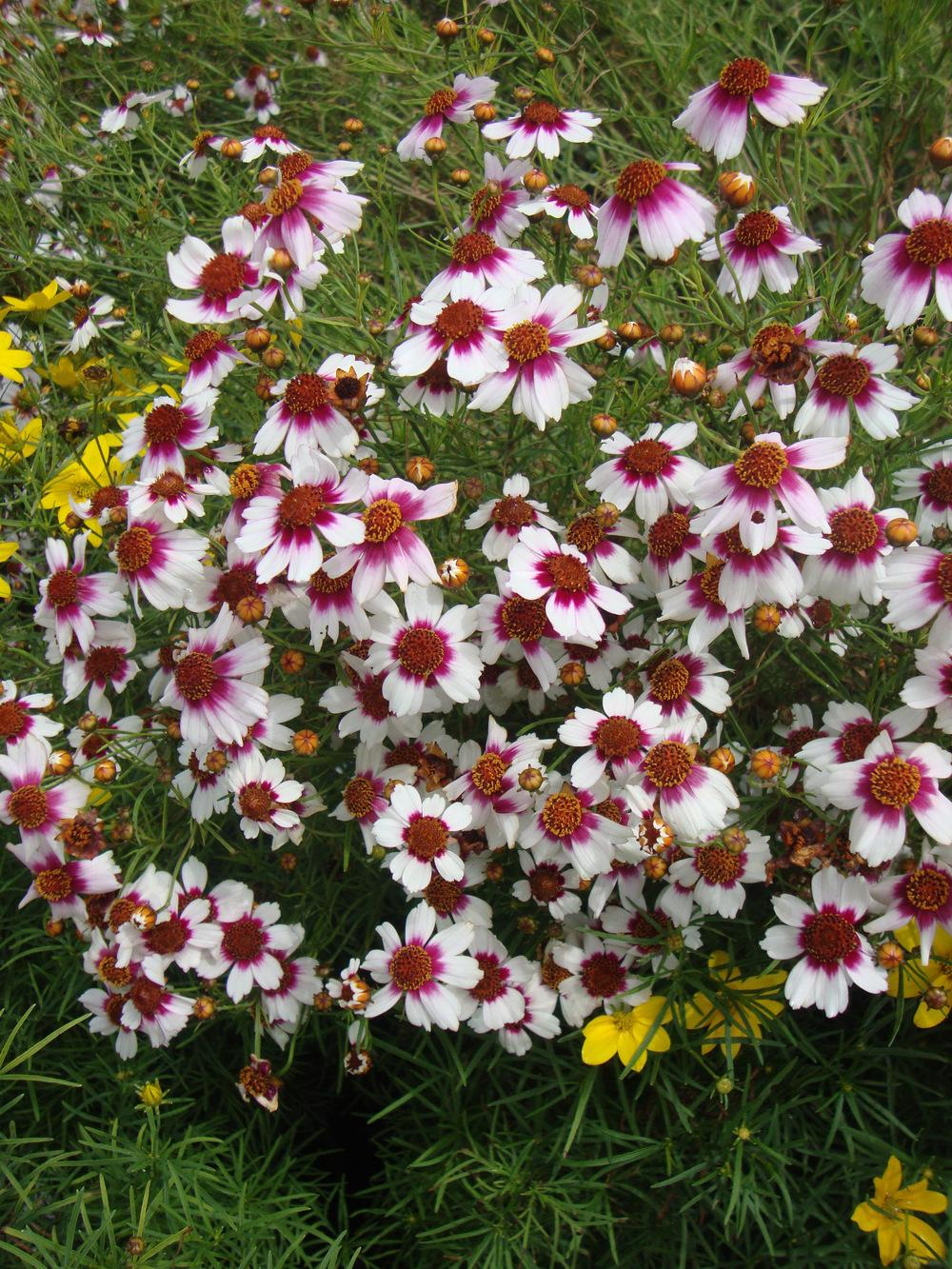 Photo of Tickseed (Coreopsis rosea 'Sweet Dreams') uploaded by Paul2032