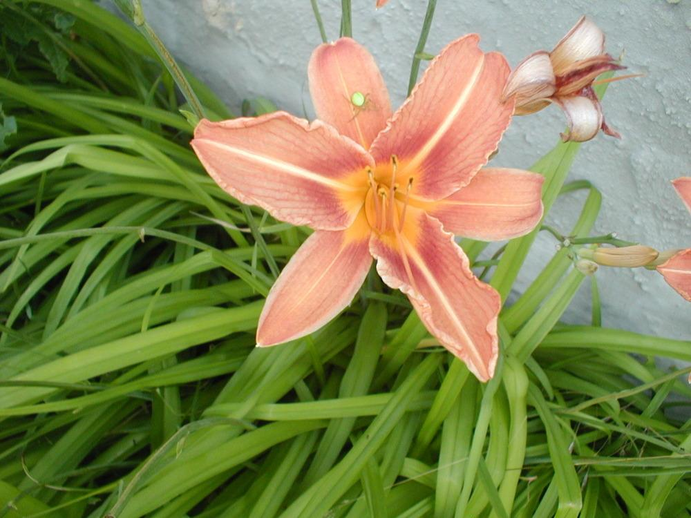 Photo of Ditch Lily (Hemerocallis fulva) uploaded by admin
