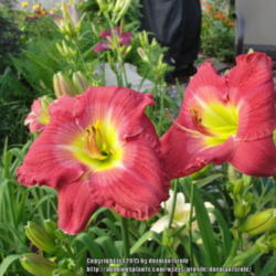 Women seeking men daylily