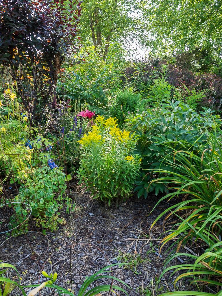 Planting Goldenrod In The Garden: Photo Of The Entire Plant Of Dwarf Goldenrod (Solidago