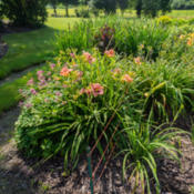 "Location: Clinton, Michigan 49236Date: 2015-07-11""Hemerocallis 'Daring Deception', 2015, Cream Pink Dayl"