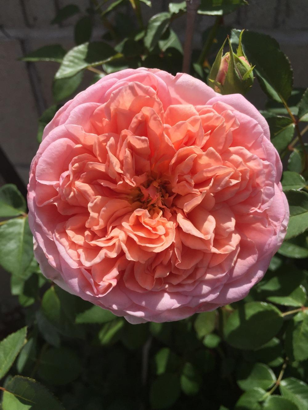 Photo of Rose (Rosa 'Abraham Darby') uploaded by mattmackay22