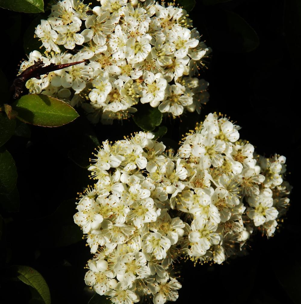 Photo of Scarlet Firethorn (Pyracantha coccinea) uploaded by MissyPenny