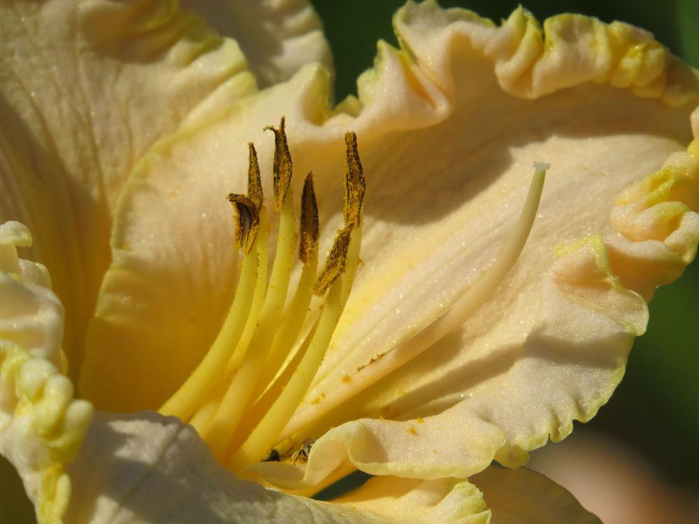 Photo of Daylily (Hemerocallis 'Victorian Lace') uploaded by Natalie