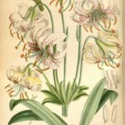 Lilium duchartrei Curtis's Botanical Magazine, London., vol. 146