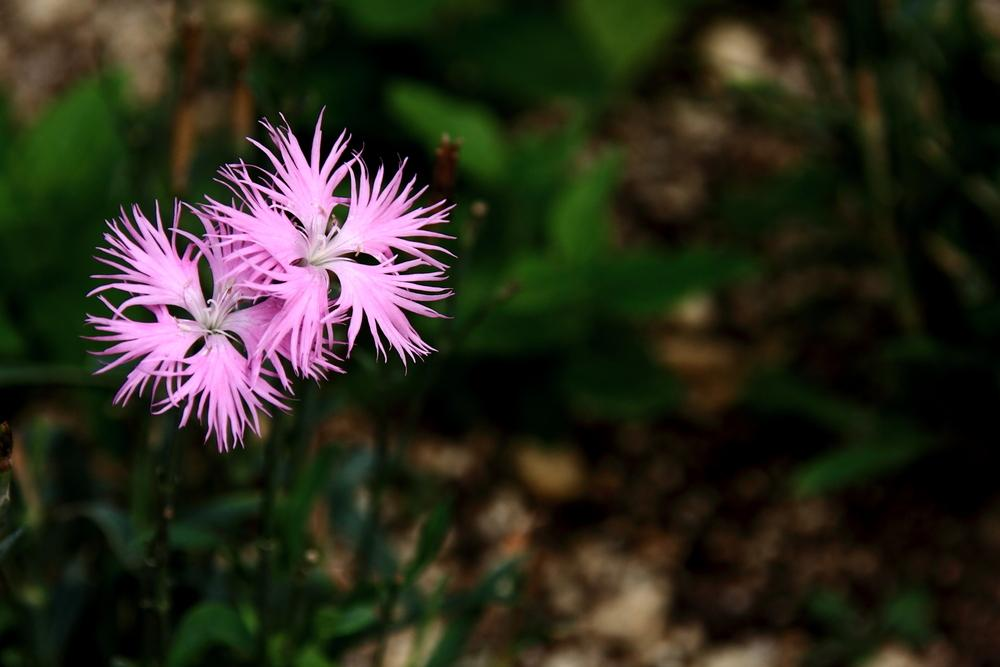 Photo of Dianthus (Dianthus longicalyx) uploaded by admin