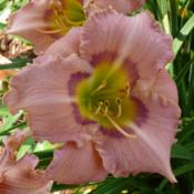 Location: SE Michigan (taken at Along the Fence Daylilies, Dansville, MI)Date: 2015-07-11late morning, 70s