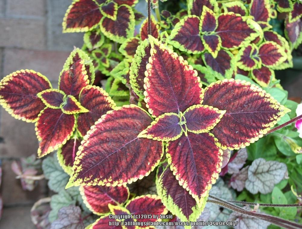 Photo of Coleus (Coleus scutellarioides) uploaded by 4susiesjoy