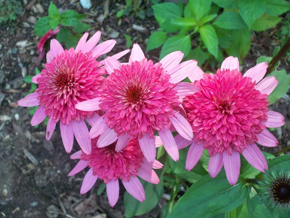Coneflowers plant care and collection of varieties garden browse recent coneflowers images add or edit informational text about this plant mightylinksfo