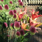 Location: The Park - full sun gardenDate: 2015-07-05The allium accompanies lily, Royal Sunset.
