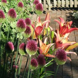 The allium accompanies lily, Royal Sunset.