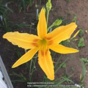 Location: Jones OK,Date: July 2015Autumn Minaret FFOE, little over 5ft. Tall on a first y