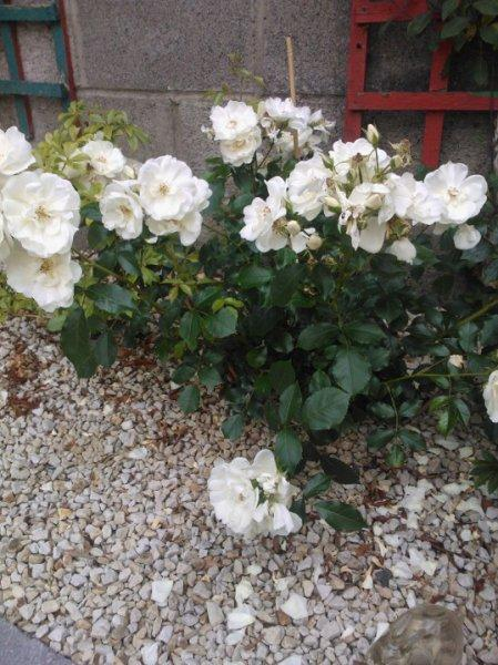 Photo of the entire plant of rose rosa flower carpet white photo of rose rosa flower carpet white uploaded by aquilega mightylinksfo