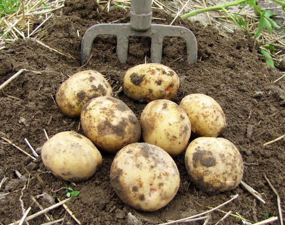 Potatoes: Plant Care and Collection of Varieties - Garden.org