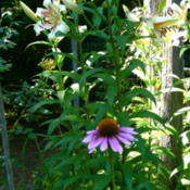 Location: Philo, CaliforniaDate: 2015-07-15echinacea and lilies