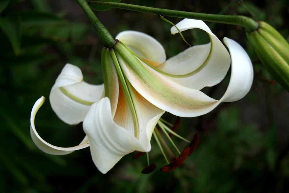 Photo of Lily (Lilium 'Mister Cas') uploaded by Calif_Sue