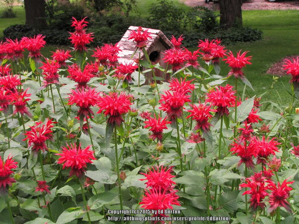 Photo of Bee Balm (Monarda didyma) uploaded by EdBurton