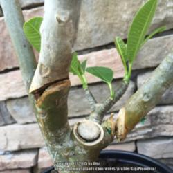 Thumb of 2015-07-17/GigiPlumeria/b0f972