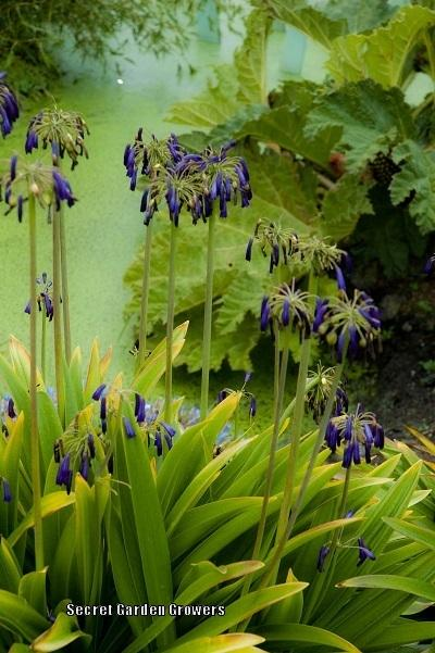Photo Of The Entire Plant Of Lily Of The Nile Agapanthus