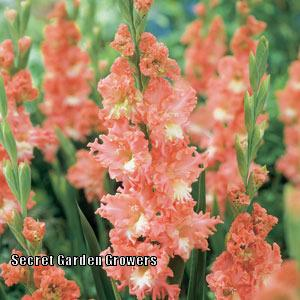 Photo of Gladiola (Gladiolus 'Frizzled Coral Lace') uploaded by Joy