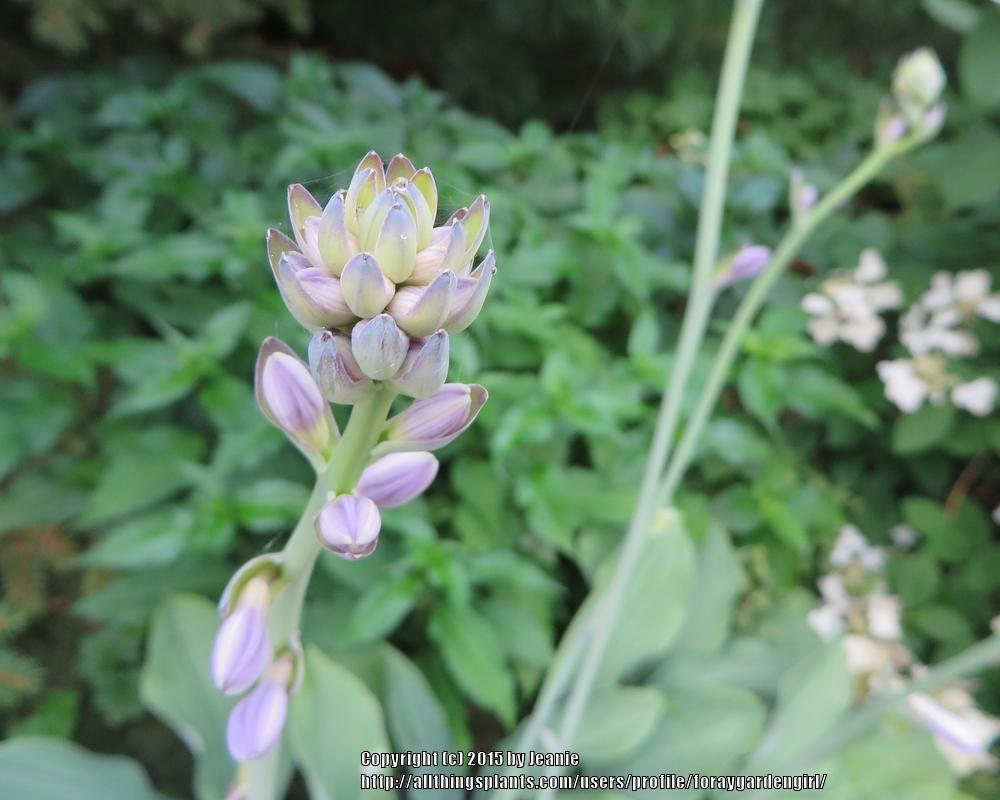 Photo of Hosta 'Krossa Regal' uploaded by foraygardengirl