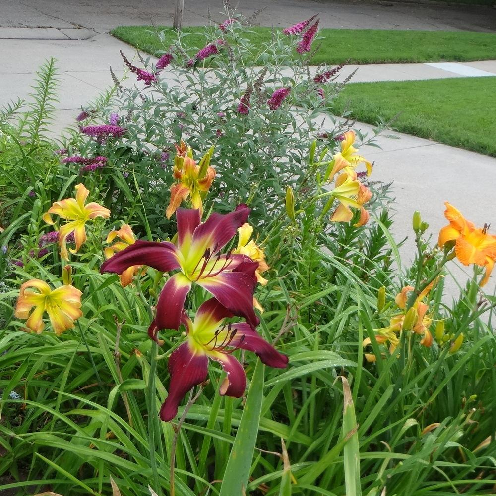 Photo of Daylilies (Hemerocallis) uploaded by stilldew