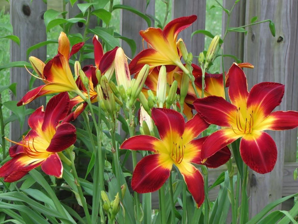 Photo of Daylily (Hemerocallis 'Ruby Spider') uploaded by Claudia