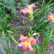 Location: My garden in Northern KYDate: 2015-07-07Unknown daylily at this time