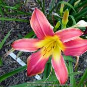 Location: My garden in KentuckyDate: 2015-07-07Unknown daylily at this time