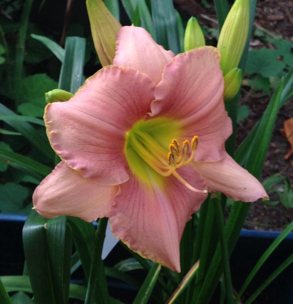 Photo of Daylily (Hemerocallis 'Driving Me Wild') uploaded by bxncbx