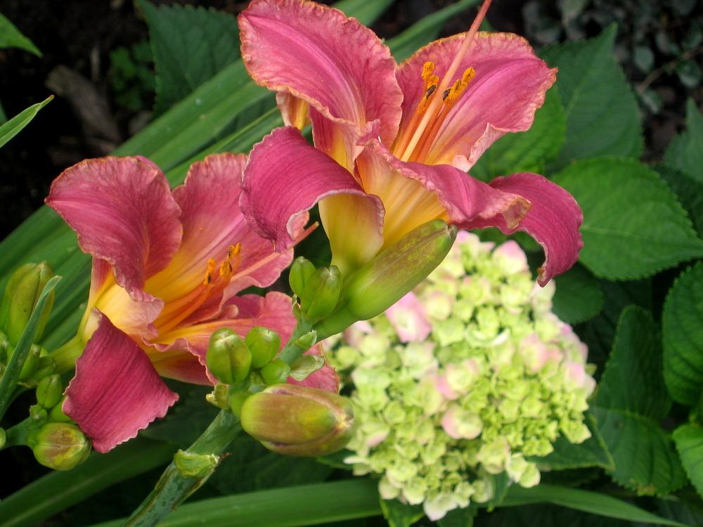 Photo of Daylilies (Hemerocallis) uploaded by Fleur569
