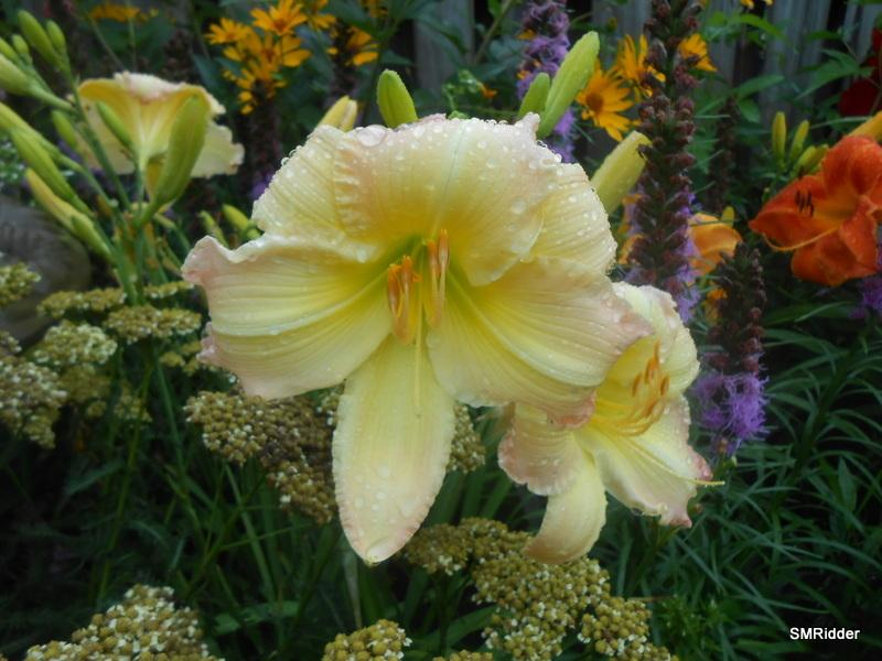 Photo of Daylily (Hemerocallis 'Beautiful Edgings') uploaded by LilySue