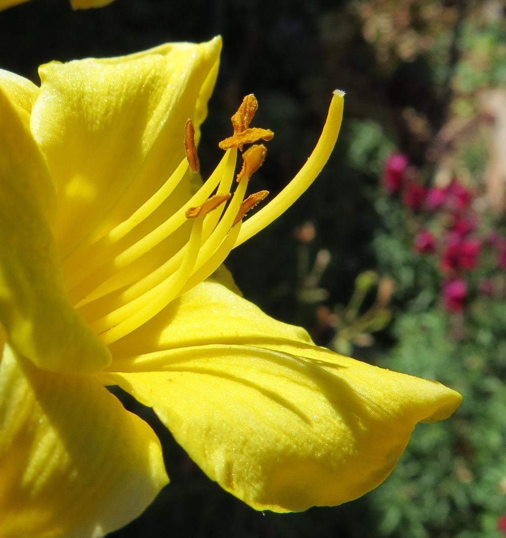 Photo of Daylily (Hemerocallis 'Irish Elf') uploaded by Natalie