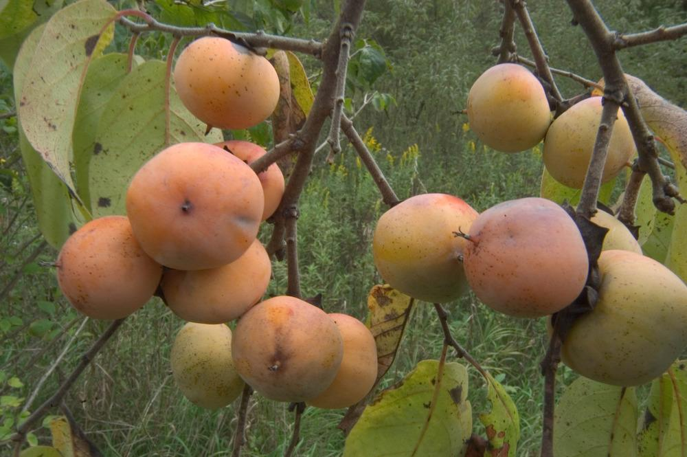 Photo of American Persimmon (Diospyros virginiana) uploaded by admin