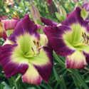 Daylilies Celebration Week Wrap Up
