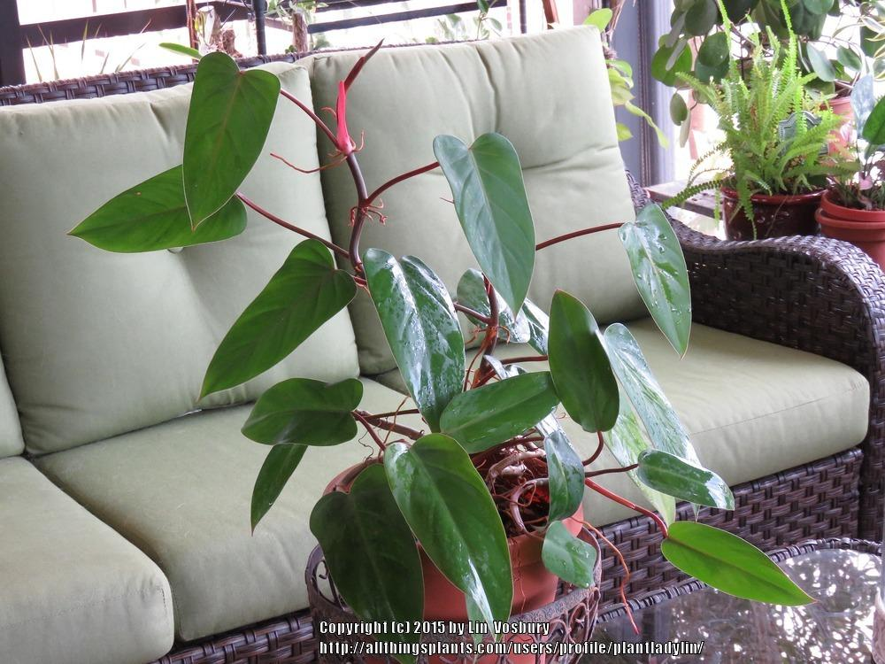 Photo of Blushing Philodendron (Philodendron erubescens) uploaded by plantladylin