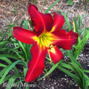 Location: East S.F. Bay AreaDate: 2015-07-21First bloom on small spring-set plant