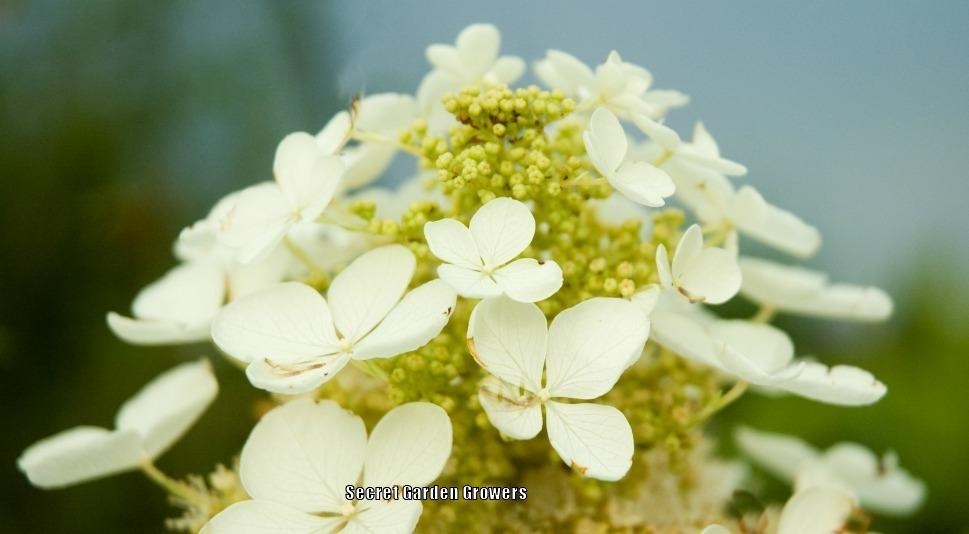 Photo of Oakleaf Hydrangea (Hydrangea quercifolia 'Pee Wee') uploaded by Joy