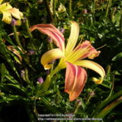 Location: My garden in KentuckyDate: 2013-06-29Unknown daylily at this time