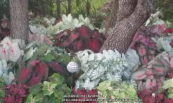 Thumb of 2015-07-22/caladiums4less/a0a13e