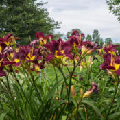 Location: Clinton, Michigan 49236Date: 2015-07-22Hemerocallis 'Bela Lugosi', 2015