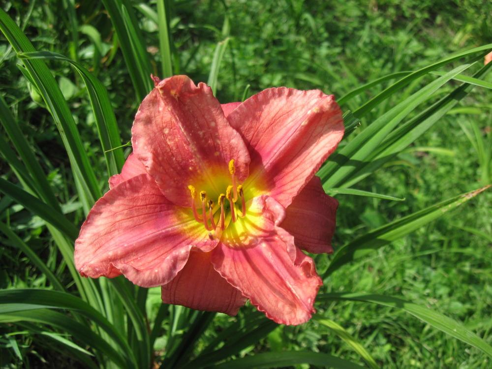 Photo of Daylily (Hemerocallis 'Rosy Returns') uploaded by robertduval14