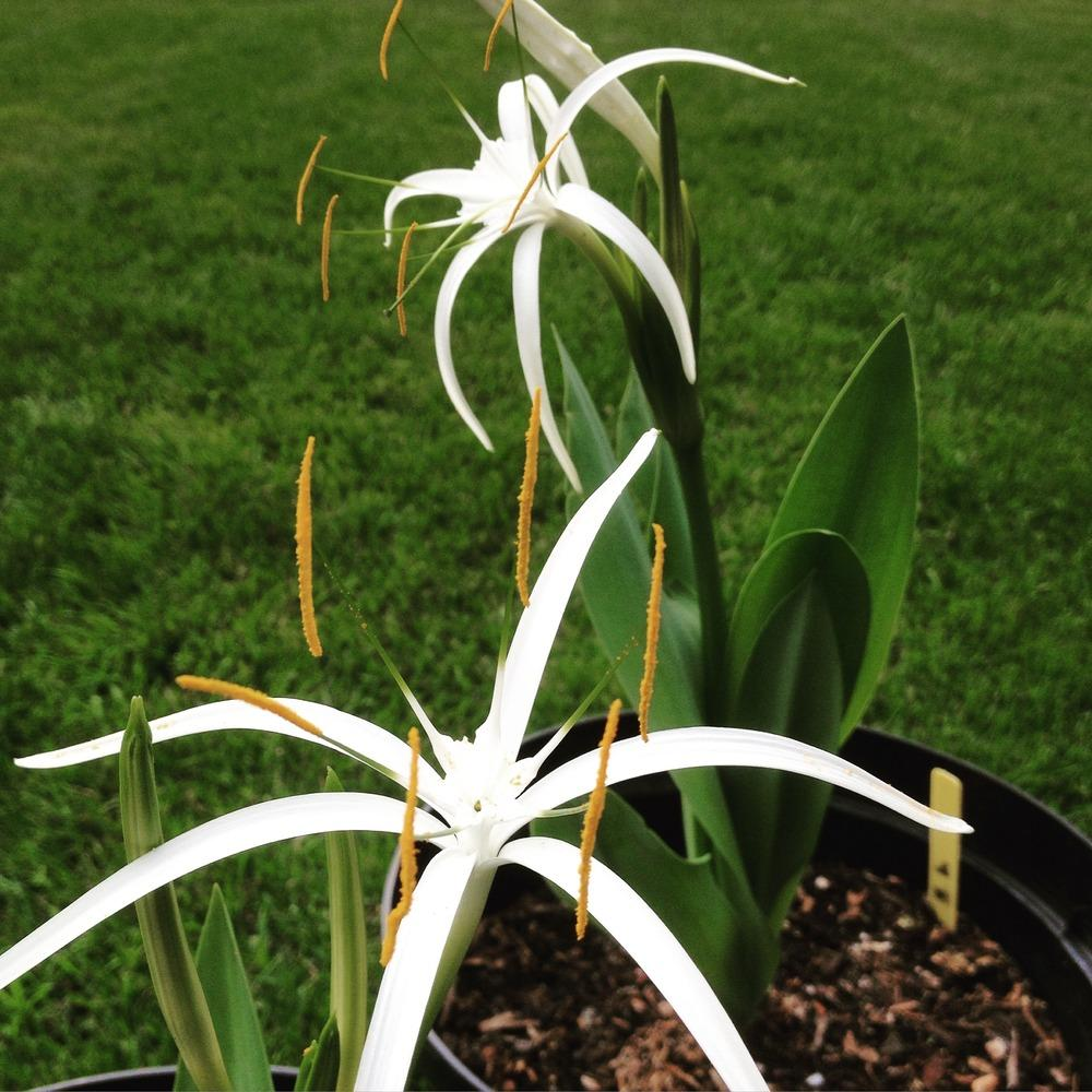 Spider Lilies: Plant Care and Collection of Varieties ...