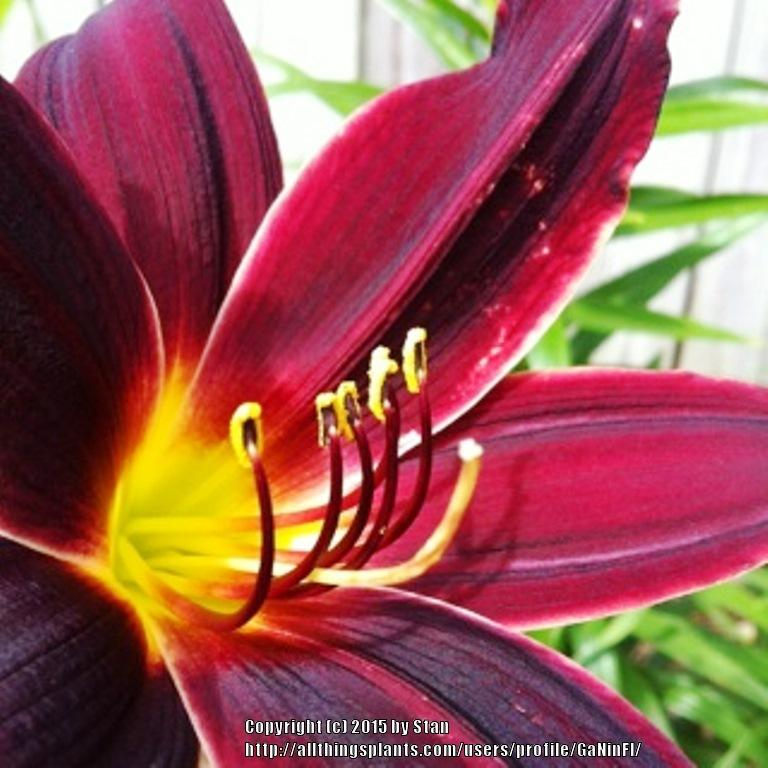 Photo of Daylilies (Hemerocallis) uploaded by GaNinFl