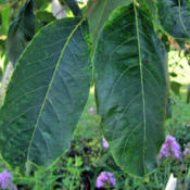 Location: My GardensDate: July 23, 2015Mature Leaves In July