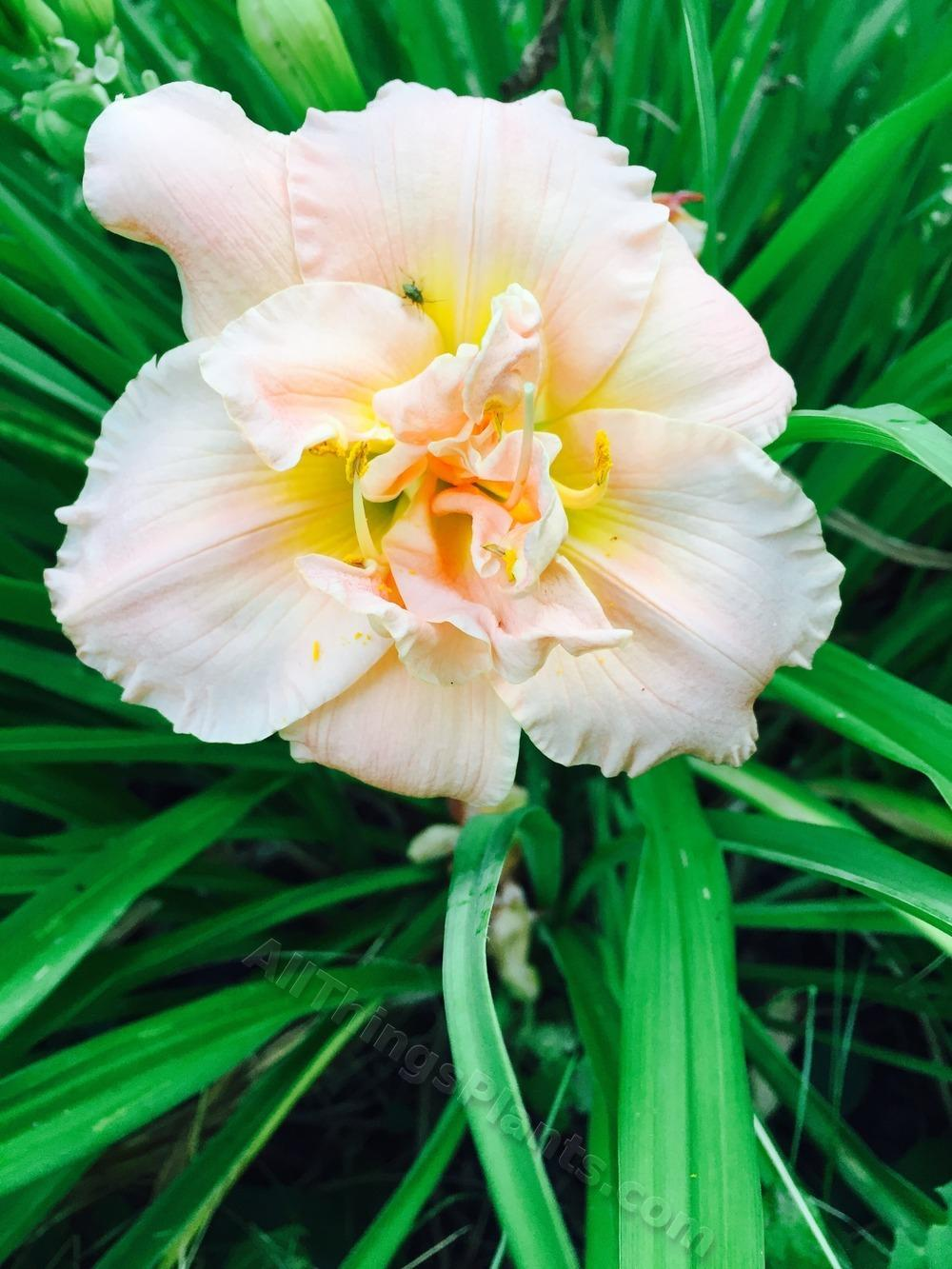 Photo of Daylily (Hemerocallis 'Siloam Double Classic') uploaded by magnolialover