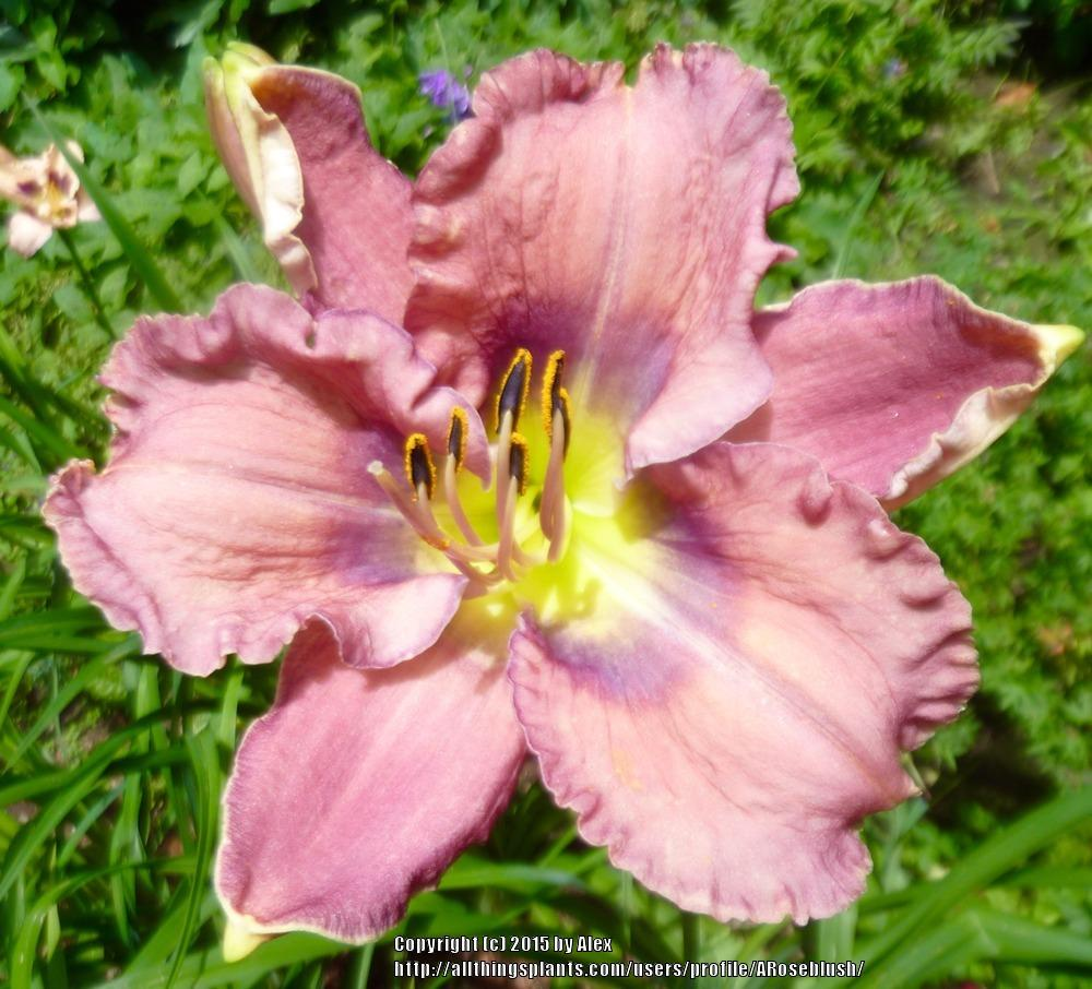 Photo of Daylilies (Hemerocallis) uploaded by ARoseblush