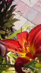 Thumb of 2015-07-24/DogsNDaylilies/935138